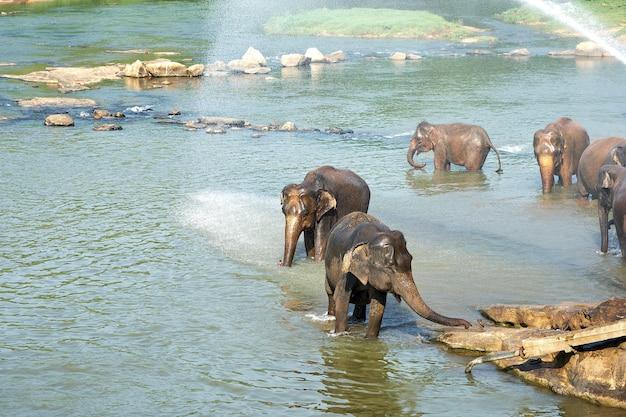 スリランカのジャングル川で象の水浴び Premium写真