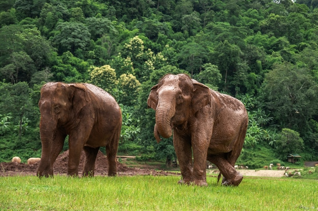 Elephants in chiang mai. elephant nature park, thailand Premium Photo