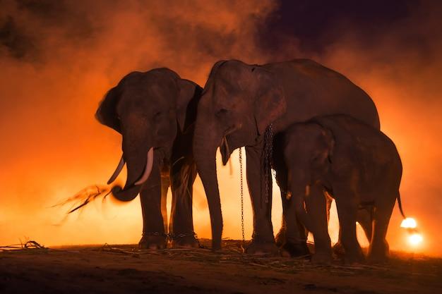 Elephants.family of elephant、スリンタイ。 Premium写真