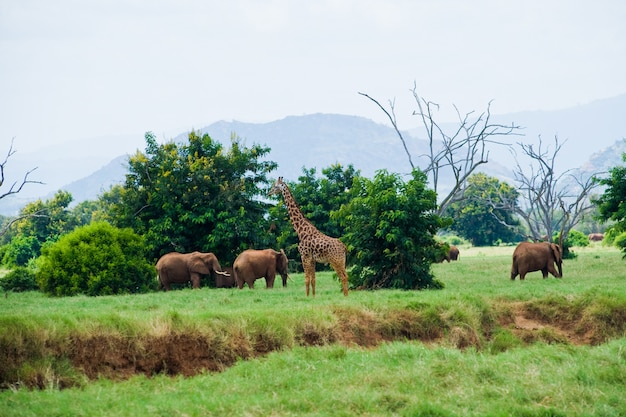 Elephants and giraffe savannah Premium Photo