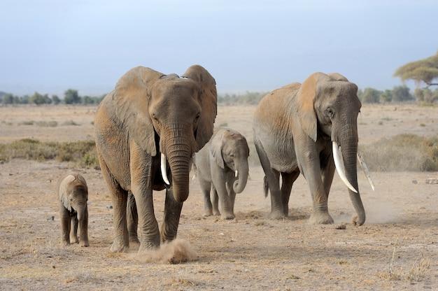 Слоны в национальном парке кении, африка Бесплатные Фотографии