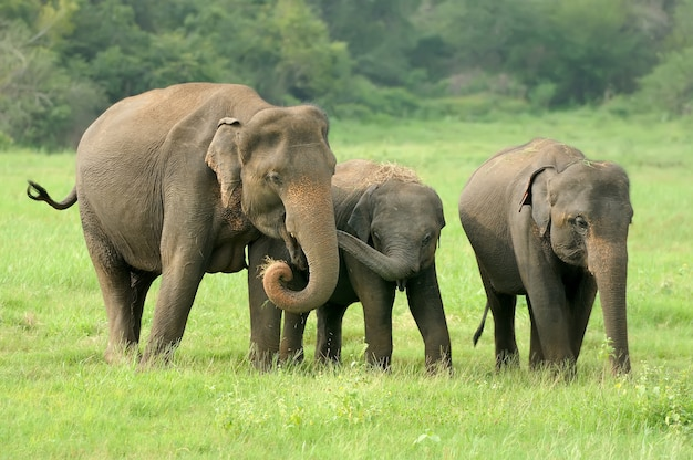 Слоны в национальном парке шри-ланки Бесплатные Фотографии
