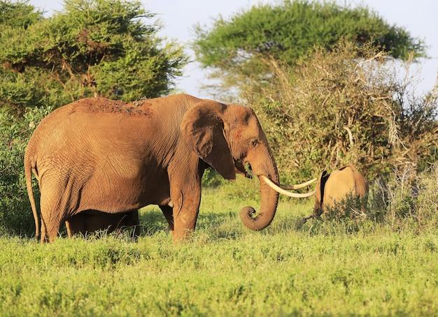 ケニアのツァボイースト国立公園で隣同士の象 無料写真