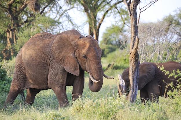 ケニアのツァボイースト国立公園で隣同士に立っている象 無料写真