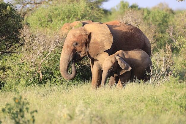 Слоны, стоящие рядом друг с другом в восточном национальном парке цаво, кения Бесплатные Фотографии