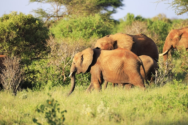 アフリカのケニアの緑の野原に並んで立っている象 無料写真