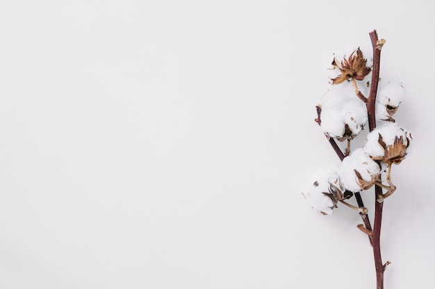 Elevated view of cotton twig on white backdrop Free Photo