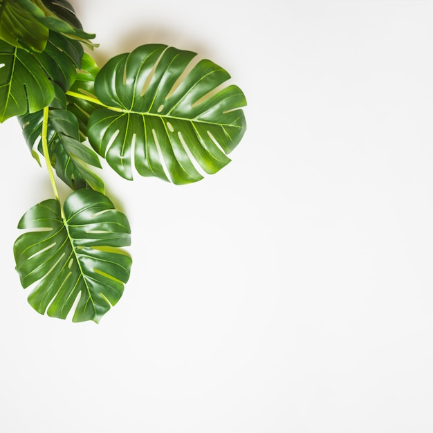 An elevated view of green monstera leaves on white backdrop Free Photo