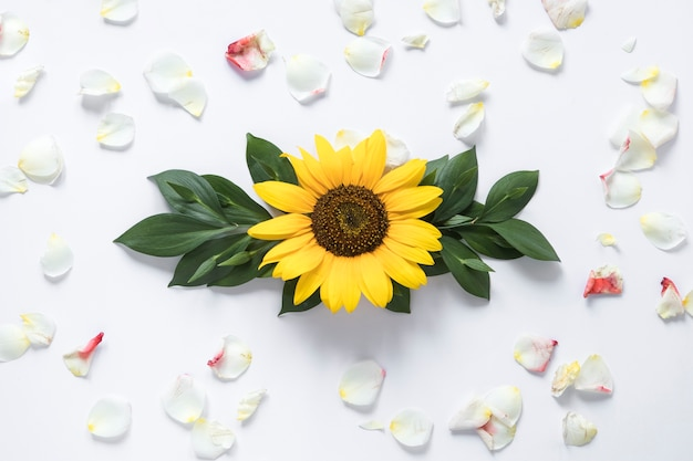 Elevated view of sunflower surrounded with white petals Free Photo