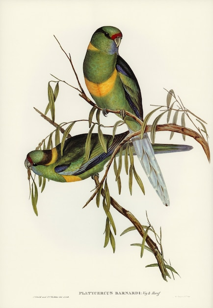 エリザベス・グールド(elizabeth gould)が描いたイチョウ(platycercus barnardii) 無料写真