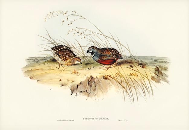 エリザベス・グールド(elizabeth gould)が描いた中国ウズラ(synoicus chinensis) 無料写真