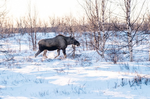 Elk walking in a field covered in the snow in northern sweden Free Photo