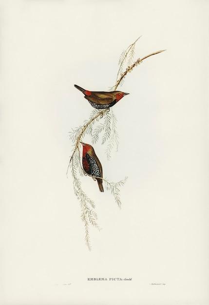 エリザベス・グールドが描いた絵画のフィンチ(emblema picta) 無料写真