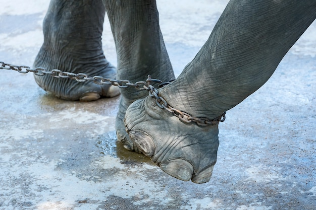 The end of the elephant's freedom. Premium Photo