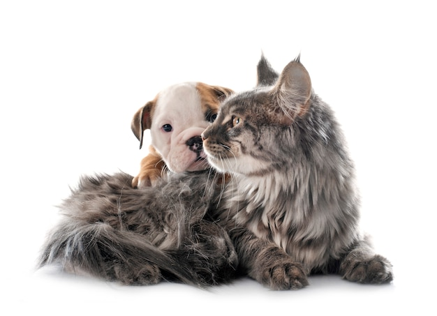 English bulldog puppy and a cat on a white background Premium Photo