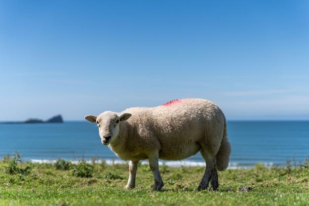 English countryside with grazing sheep Premium Photo