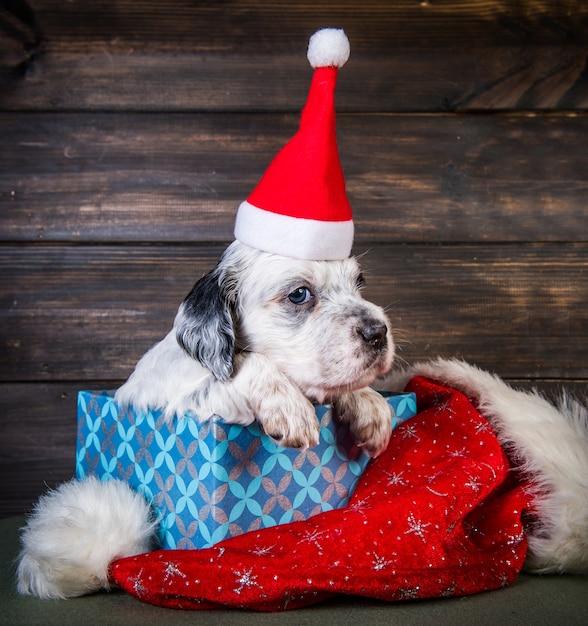 Английский сеттер щенок в шляпе санта-клауса в подарочной коробке. рождественский фон Premium Фотографии
