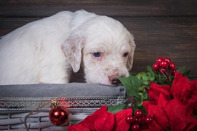 Английский сеттер щенок с красными цветами пуансеттия и елочные шары. Premium Фотографии