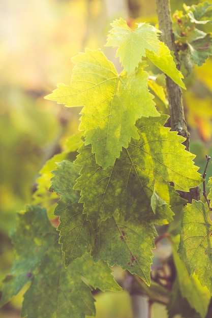 Environmental abstract background with grape leaves and light bokeh used as background Premium Photo