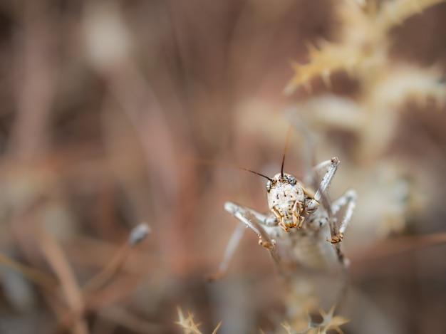 Ephippiger ephippiger, цикада сфотографировали в их естественной среде. Premium Фотографии