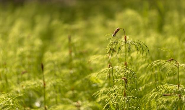 Хвощ полевой - equisetum sylvaticum Premium Фотографии