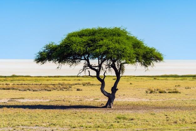 Сиротливое дерево акации (верблюд) с предпосылкой голубого неба в национальном парке etosha, намибии. южная африка Бесплатные Фотографии