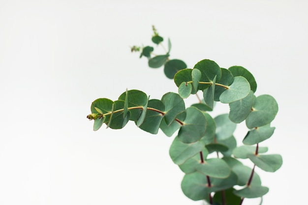 Eucalyptus branches in glass with water on white background Premium Photo
