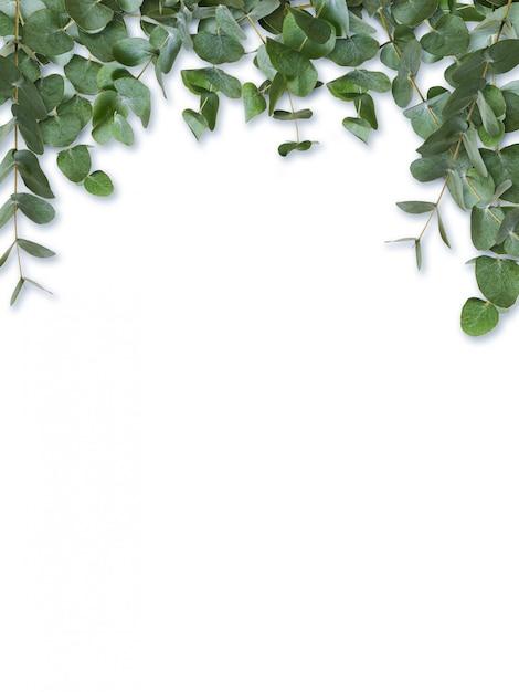 ユーカリの緑の葉と白で隔離される枝 Premium写真