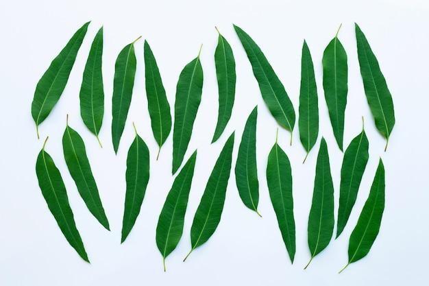 Eucalyptus leaves on white background. Premium Photo