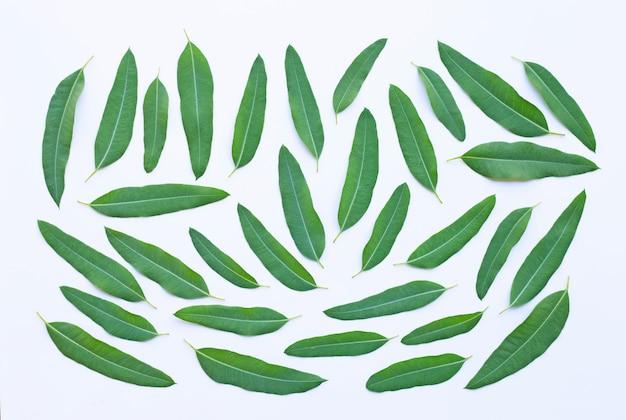 Eucalyptus leaves on white. Premium Photo