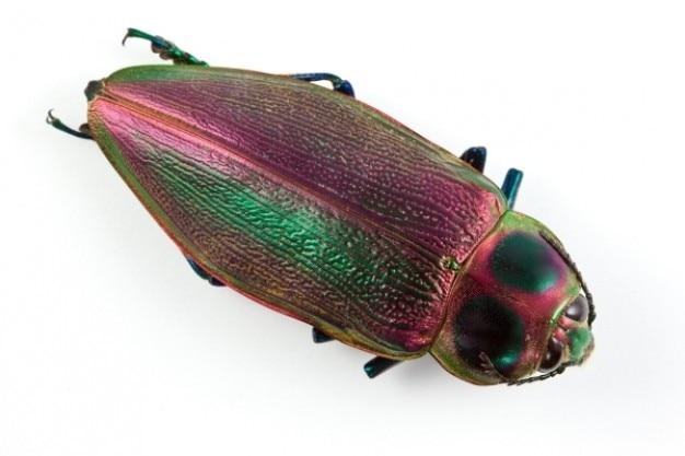 Euchroma gigantea beetle Free Photo