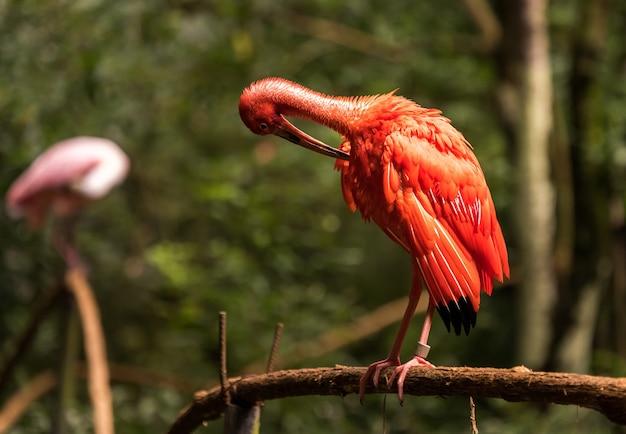ブラジルの国立鳥類アベス公園に生息するibisバードレッドのeudocimusruber。 Premium写真