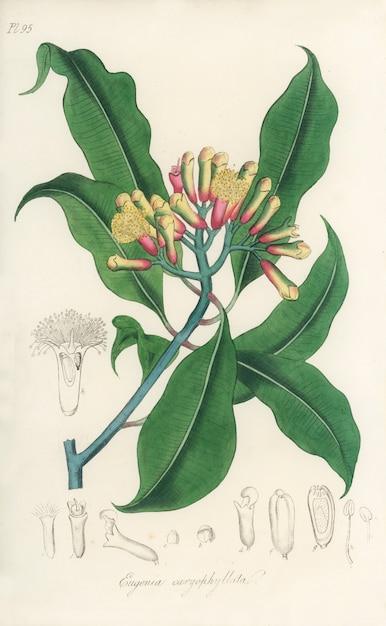 クローブ(eugenia caryophyllata)イラストレーション:medical botany(1836) 無料写真