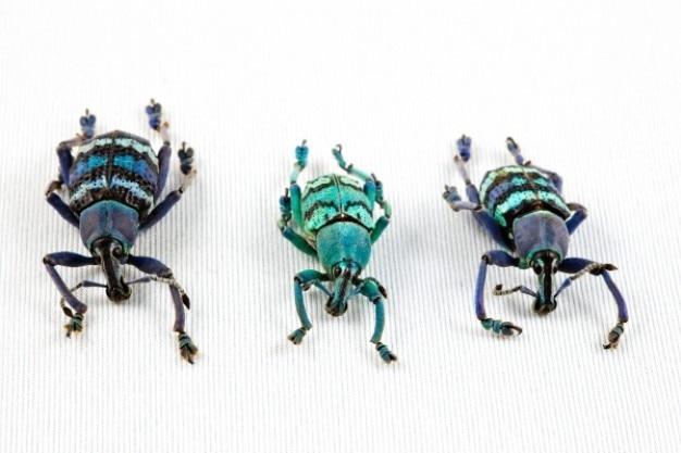 Eupholus beetle trio Free Photo