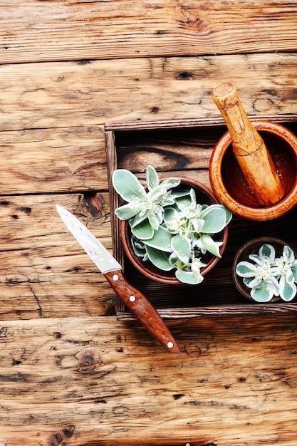 Euphorbia - an ancient means of folk medicine Premium Photo
