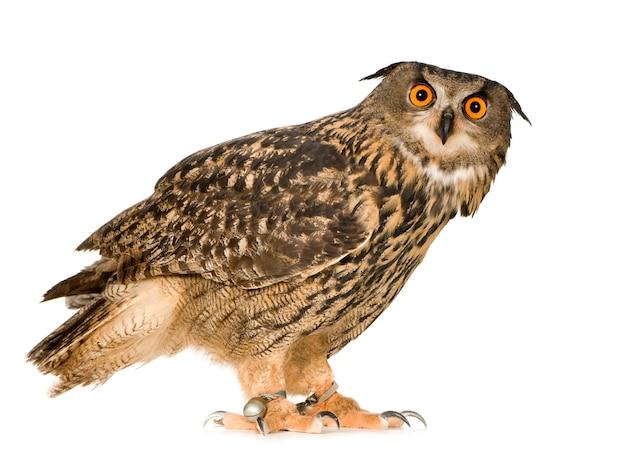Eurasian eagle owl - bubo bubo (22 months) isolated Premium Photo
