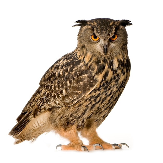 Eurasian eagle owl - bubo bubo (22 months) isolated Premium Photo