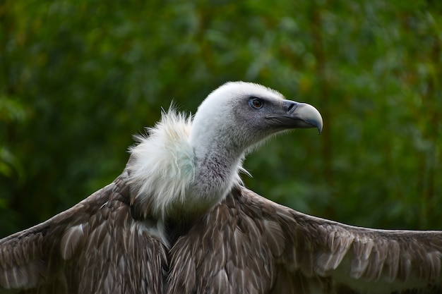 Евразийский гриф с широко раскрытыми крыльями Premium Фотографии