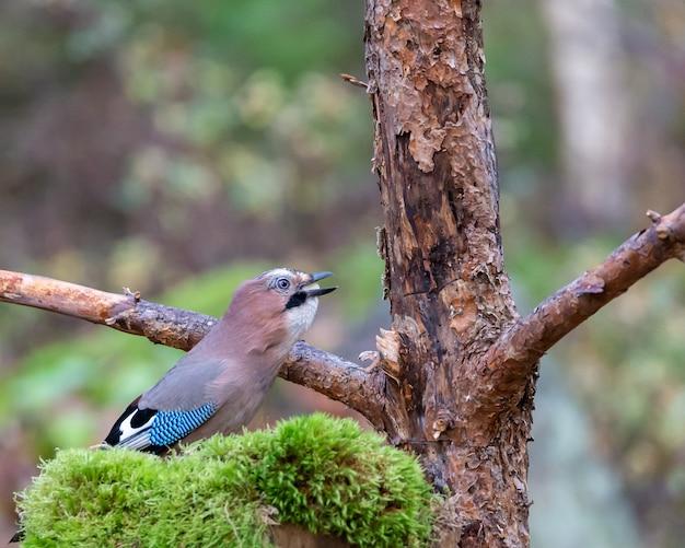 木の近くの種子を食べるカケスの鳥 無料写真