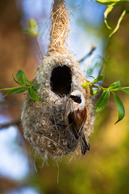 Eurasian penduline tit building nest hanging on a twig of tree in spring nature Premium Photo