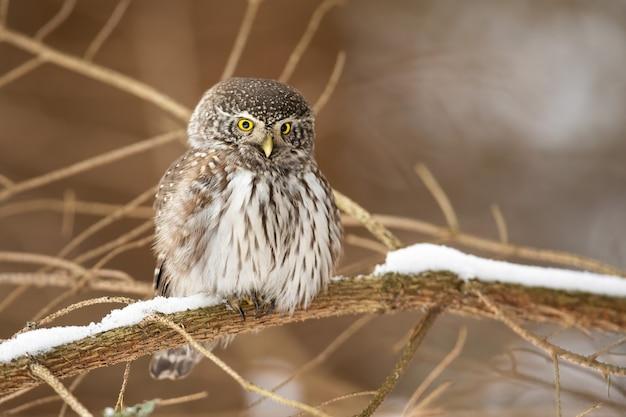 冬の自然の中で枝に座っているスズメフクロウ Premium写真
