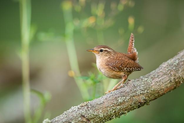 夏の自然の中で木で休むミソサザイ Premium写真