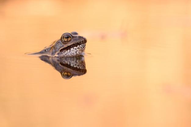 European common frog Premium Photo