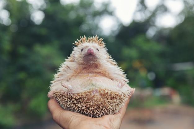 European hedgehog on hands in the natural garden habitat. Free Photo