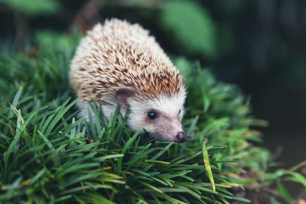 European hedgehog in natural garden habitat with green grass. Free Photo