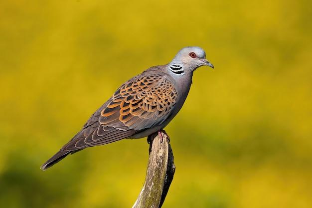 夏の自然の中で枝に座っているヨーロッパのカメの鳩。 Premium写真