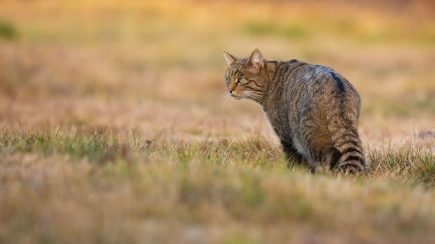 秋の自然の牧草地に立っているヨーロッパヤマネコ Premium写真