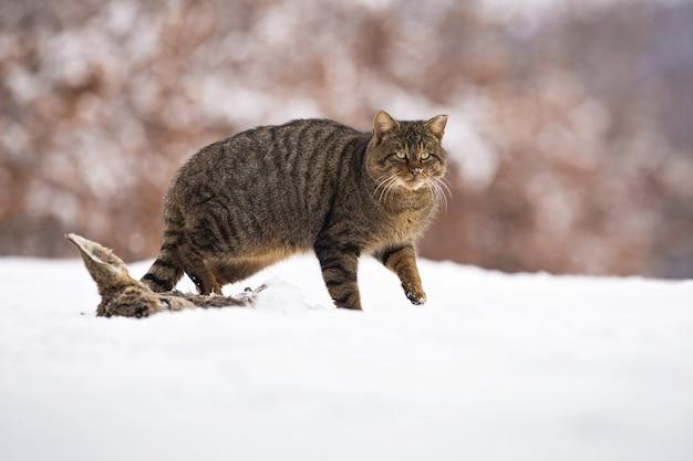 겨울 자연에 눈에 걷는 유럽 살쾡이 프리미엄 사진