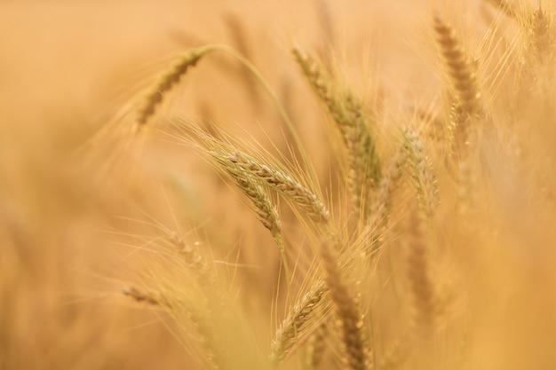 Evening light fields of barley Premium Photo