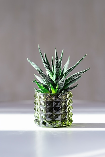 Evergreen succulent haworthia in glass pot on white table. home plant cactus in small flowerpot with dark shadows from light from window. minimal still life image. Premium Photo